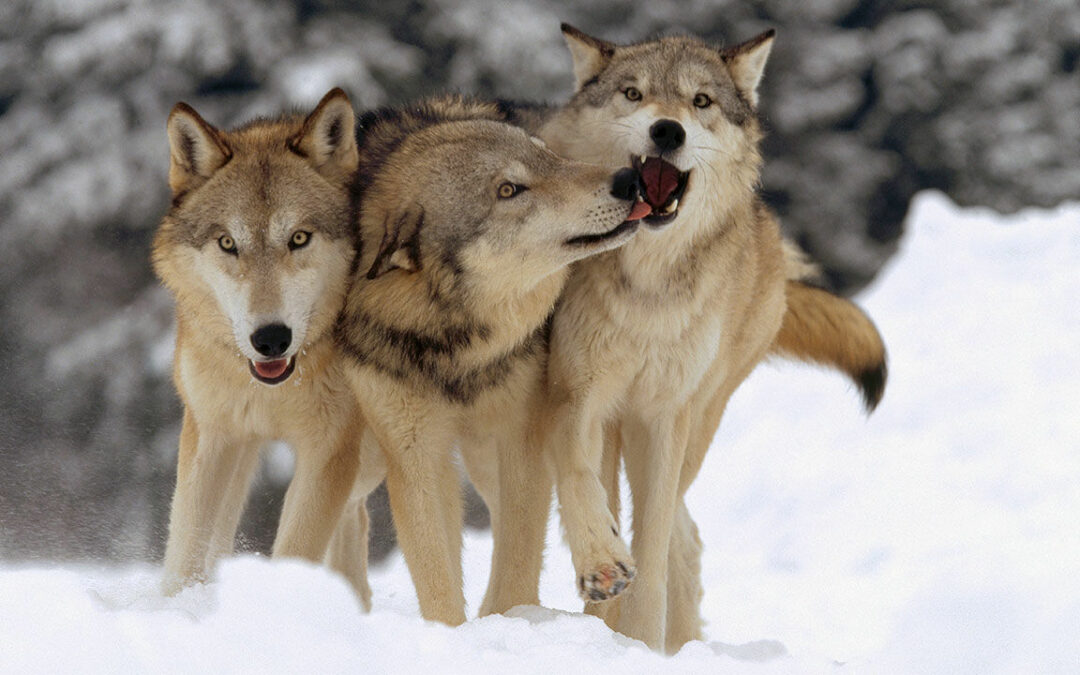 A Scholarly Pack of Wolves